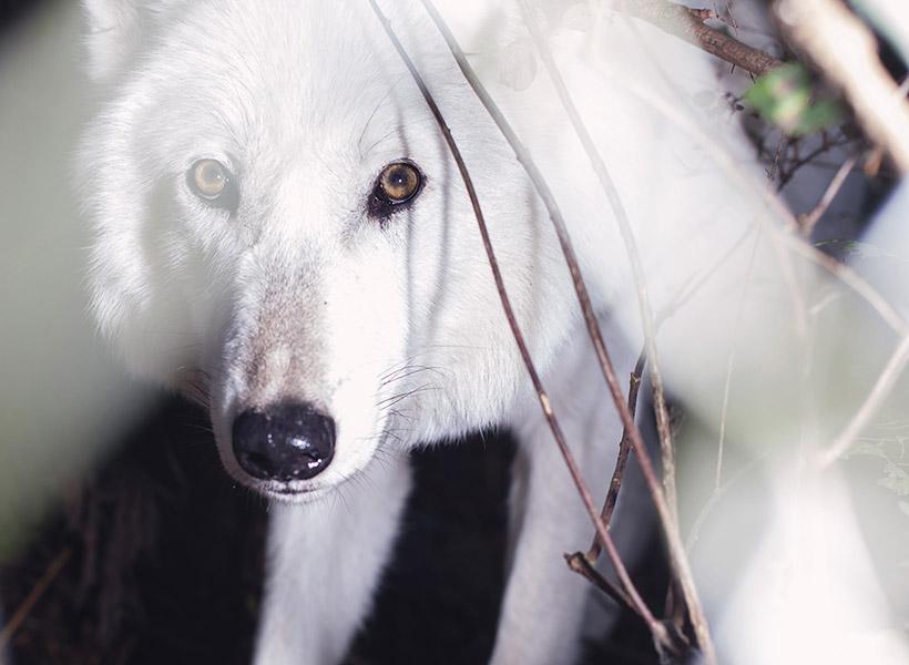 """WolfHaven 12 30""""x40"""" ANNIE MARIE MUSSELMAN"""